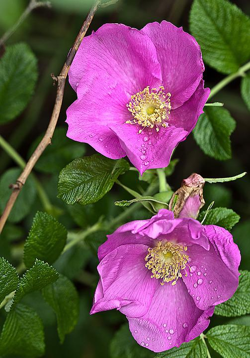 Flower, Rose, Wild Rose, Nature, Macro, Rose Petals