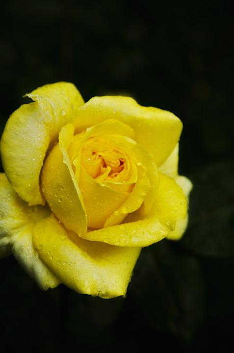 Rose, Yellow, Flower