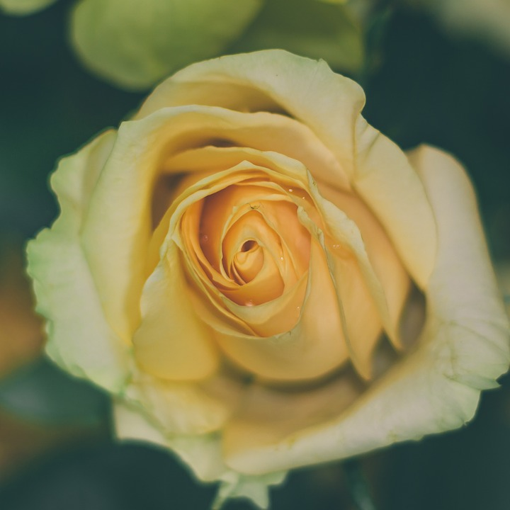 Rose, Flower, Yellow Roses, Yellow
