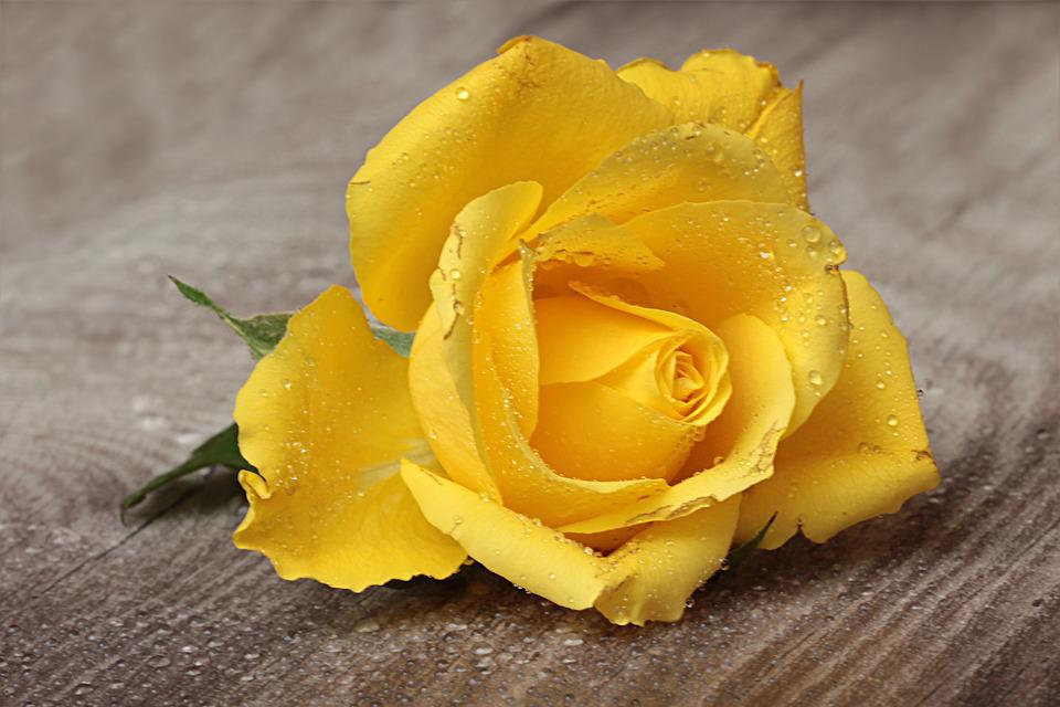 Flower, Rose, Blossom, Bloom, Latin Pink, Yellow
