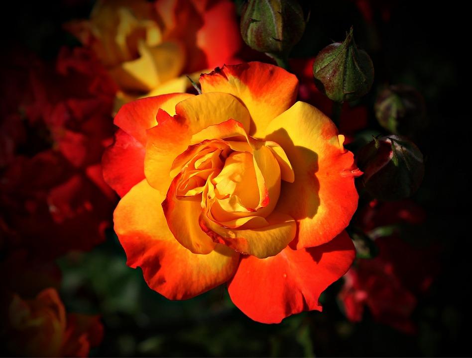 Rose, Flower, Blossom, Bloom, Yellow, Red, Tender