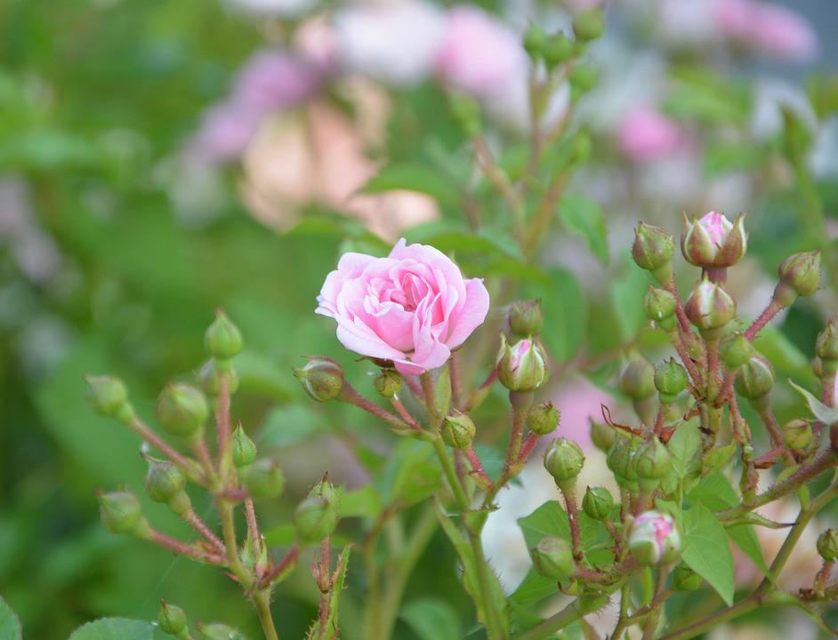 Pink, Rosebuds, Color Pink, Green Leaves, Rosebush