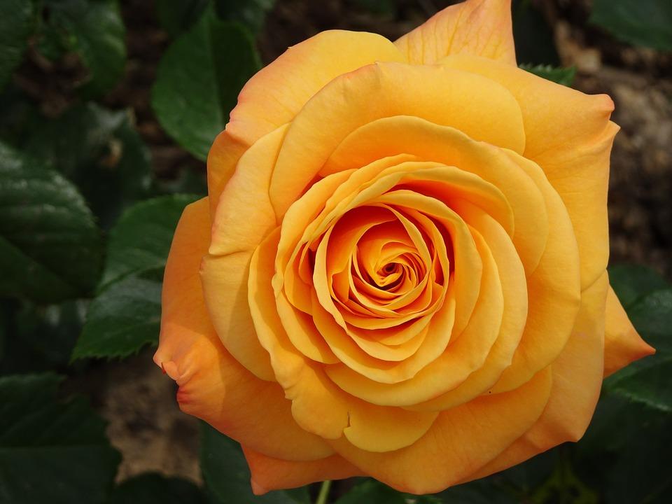 Pink, Rosebush, Plants, Flowers, Garden, Gardening