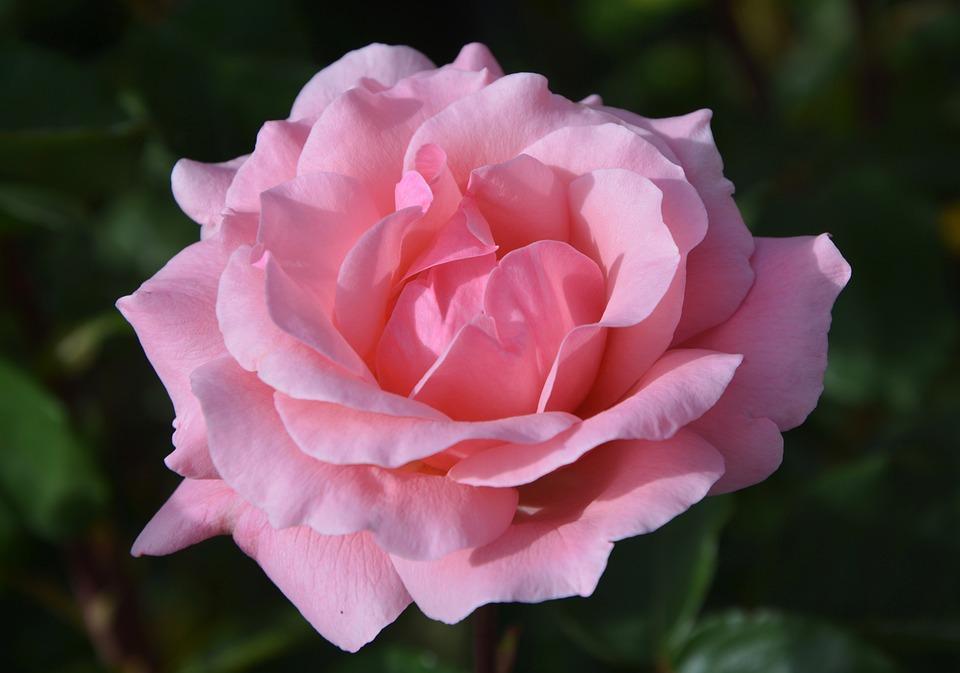 Pink, Color Pink, Rosebush, Shrub Spicy, Pink Flowers
