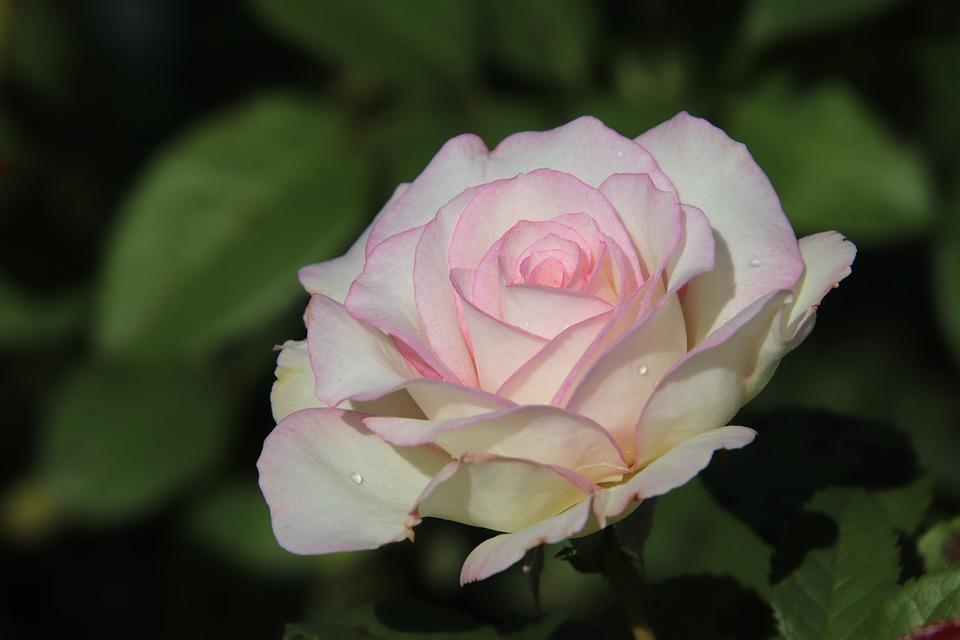 Pink, Rosebush, Shrubs, Plants, Flowers, Flowering