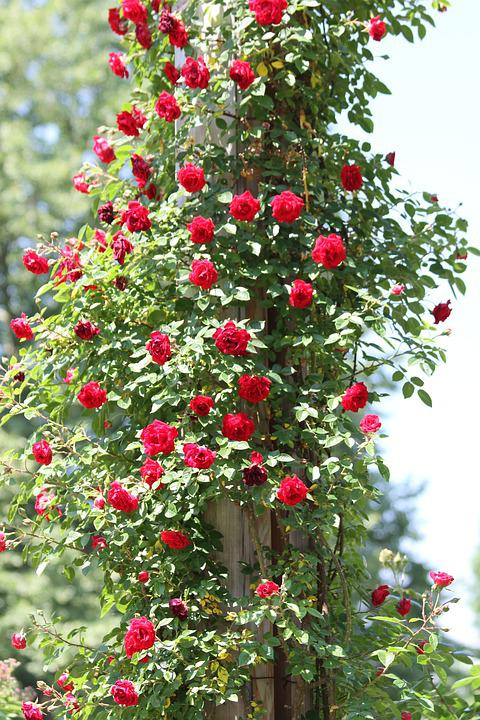 Rosebush, Red, Roses, Climbing Roses, Garden, Park