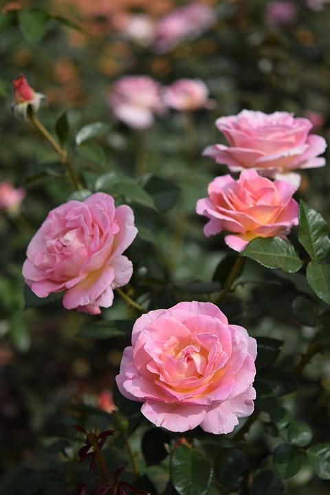Rose, Flower, Plant, Pink, Hell, Garden, Park, Rosedal