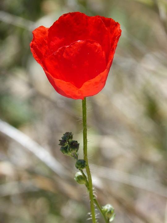 Poppy, Ababol, Rosella, Flower, Nature, Plant, Leaf