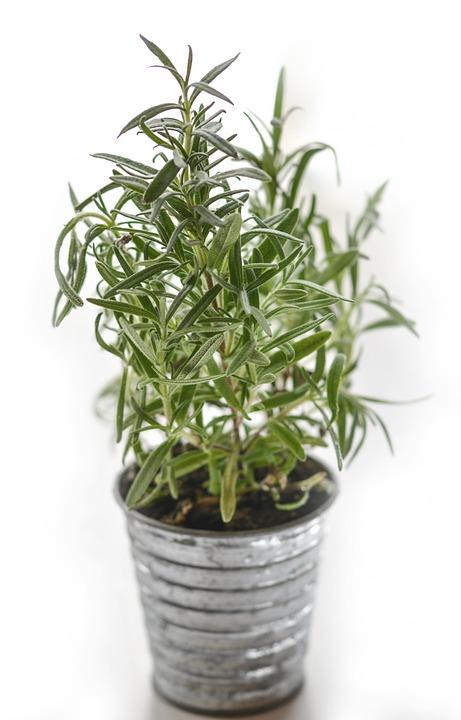 Rosemary, Herb, Herbal, Ingredient, Fresh, Medicine
