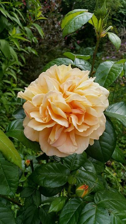 Yellow Rose, Plant, Flower, Rose Petal, Rosenknopse