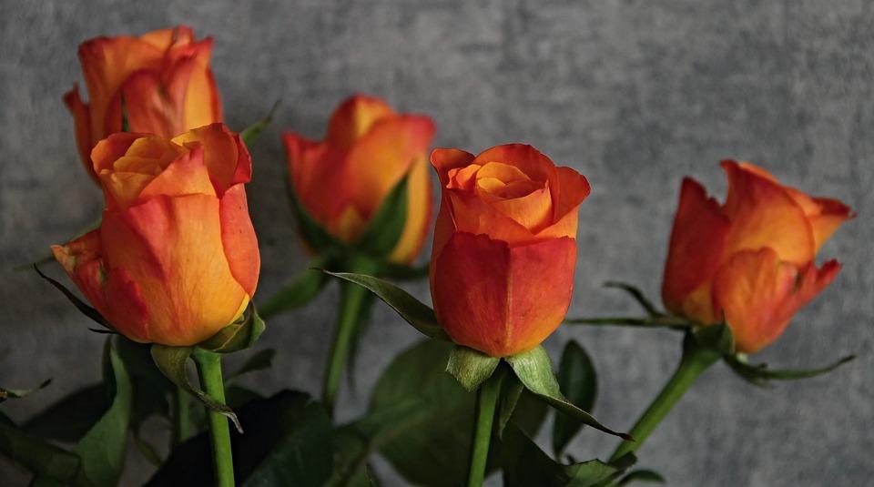 Roses, Flowers, Orange, Roses Are In Bloom, Close
