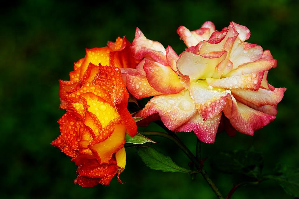 Roses, Bloom, Flower, Colorful, Summer, Nature, Plant