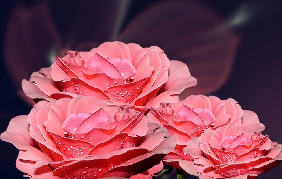 Salmon Pink, Roses, Nature, Flower, Rose Bush, Linda