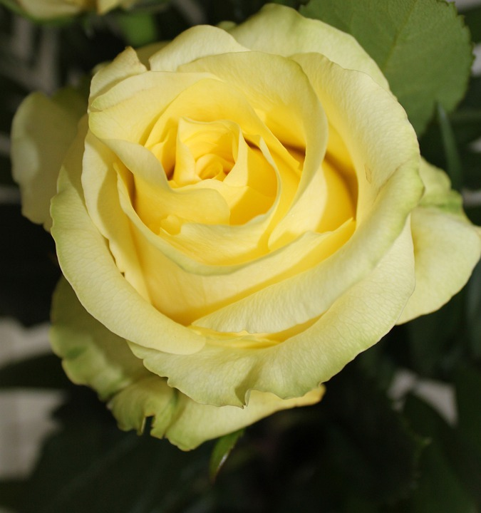 Rose, Roses, Flowers, Flower, Yellow Flower, Yellow