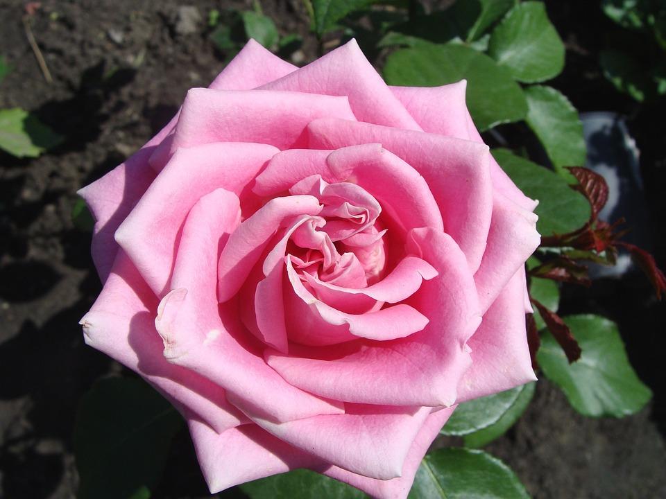 flower flowers rose roses garden garden flowers - Garden Flowers