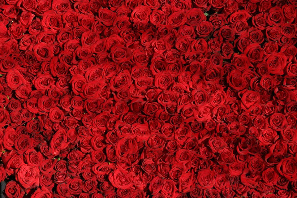 Rose, Roses, Flowers, Red, Valentine