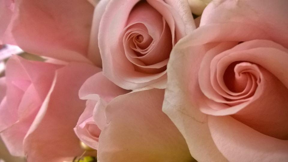 Pink Red, Roses, Love