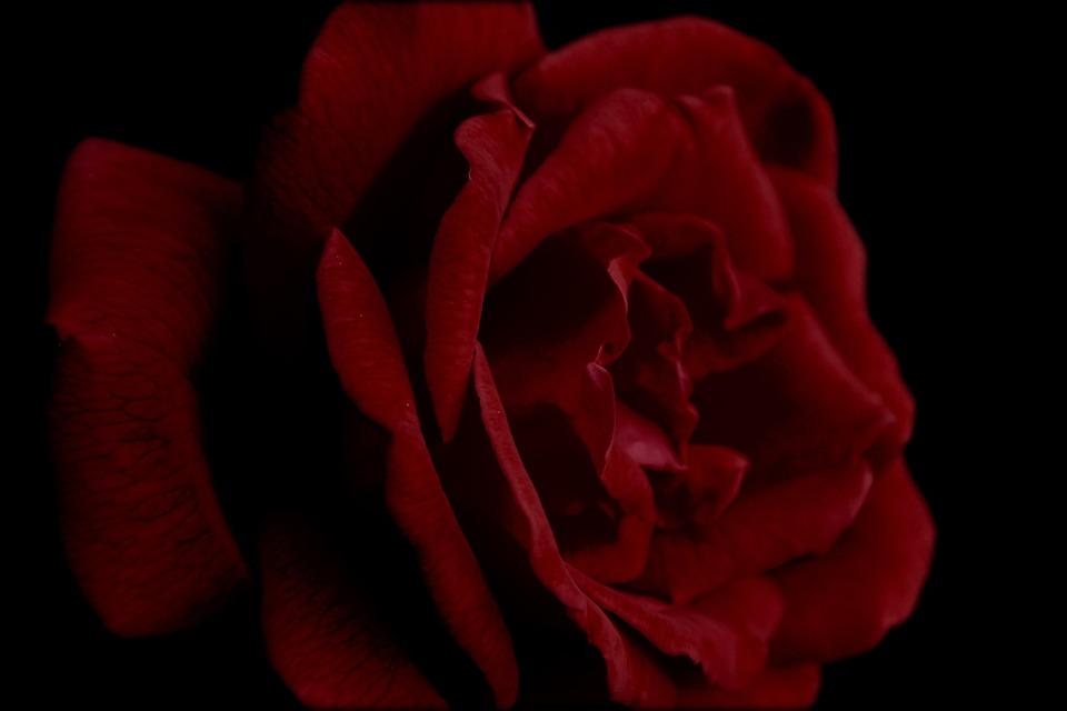 Rose, Red, Petal, Dramatic, Flower, Roses, Floral