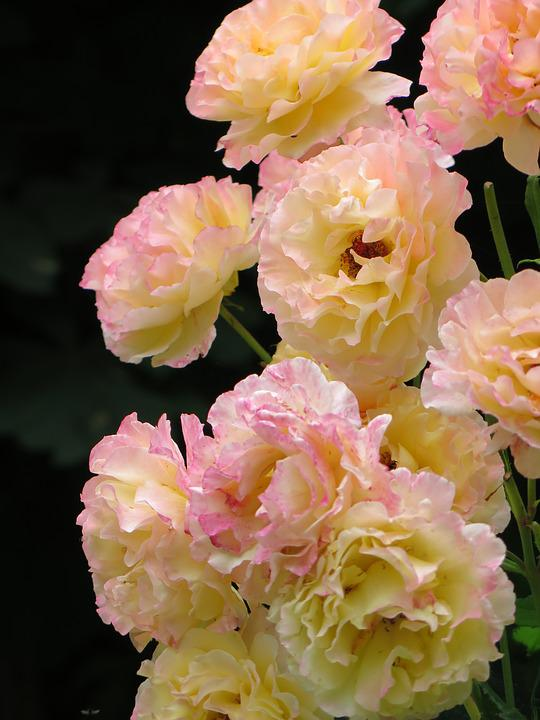 Roses, Gloria Dei, Yellow, Pink, Pale, Petals