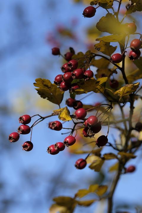 Rose Hip, Fruit, Bush, Autumn, Roses, Red, Plant