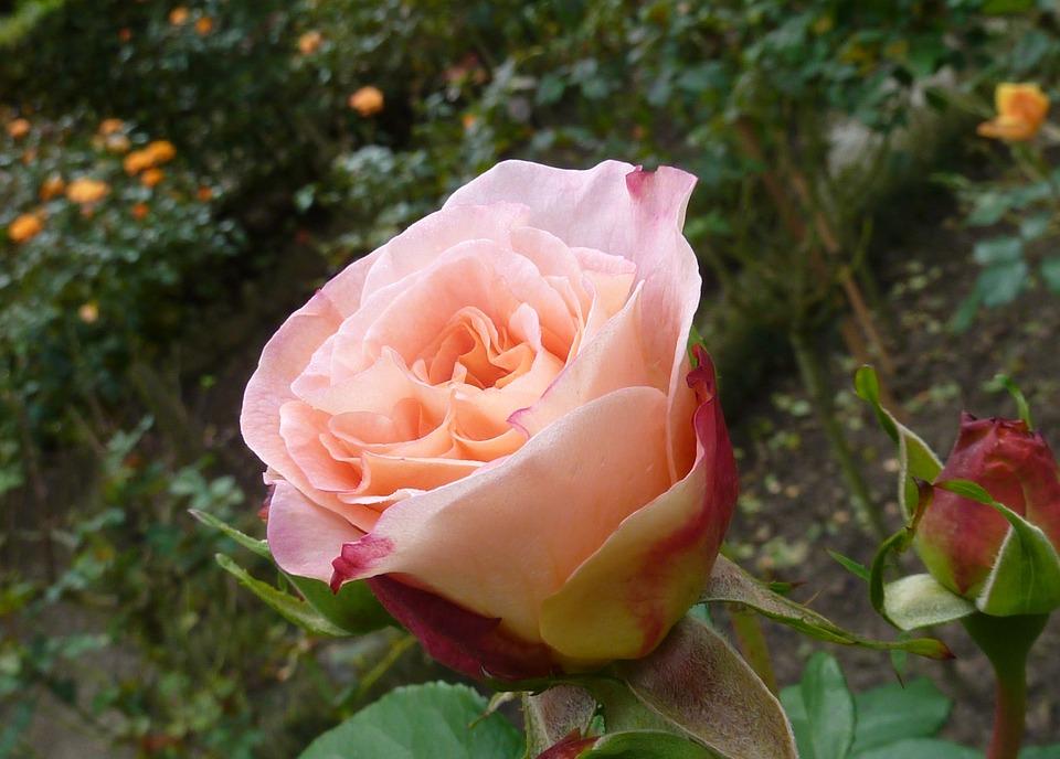 Roses Pink Rose Flower Romantic Beautiful Blossom