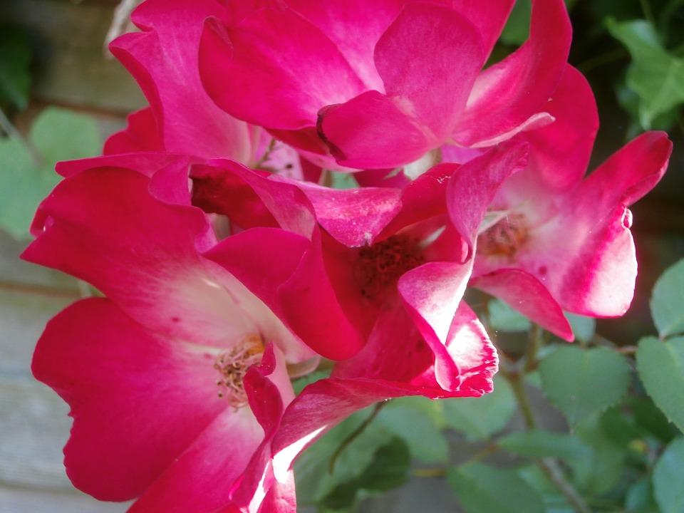 Roses, Rosebush, Pink Roses, Flowers, Petals