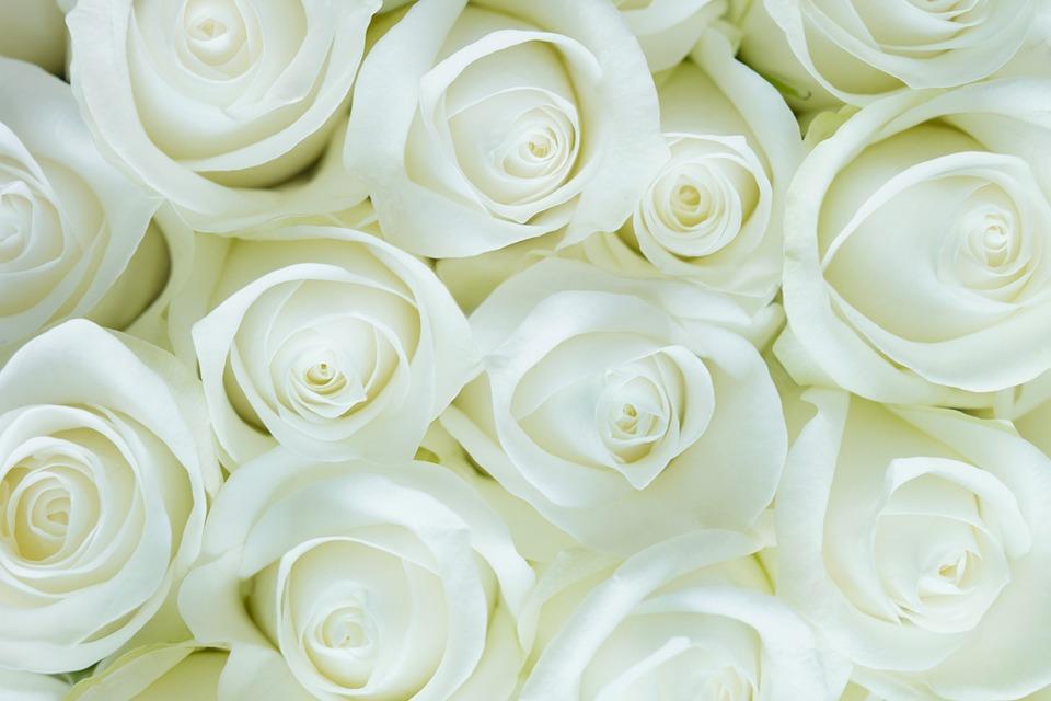 Roses, White, Pure, Nature, Blossom, Delicate