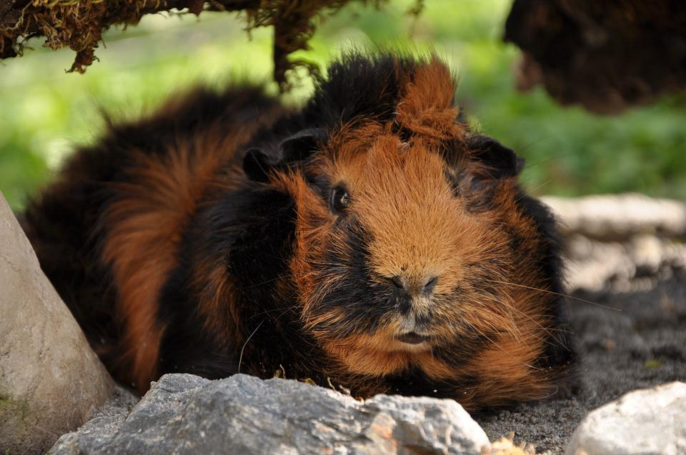 Guinea Pig, Rosette, Brindle, Rodents, Nature