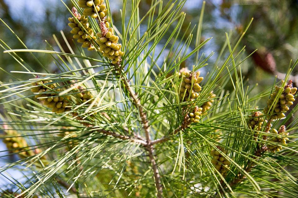 Needles, Spruce, Christmas Tree, Pine, Rostock, Plant