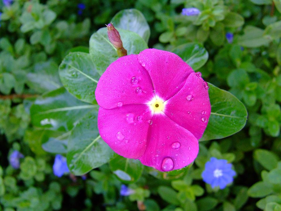 Free photo rosy periwinkle flowers periwinkle pink kumintang max pixel kumintang pink periwinkle rosy periwinkle flowers mightylinksfo