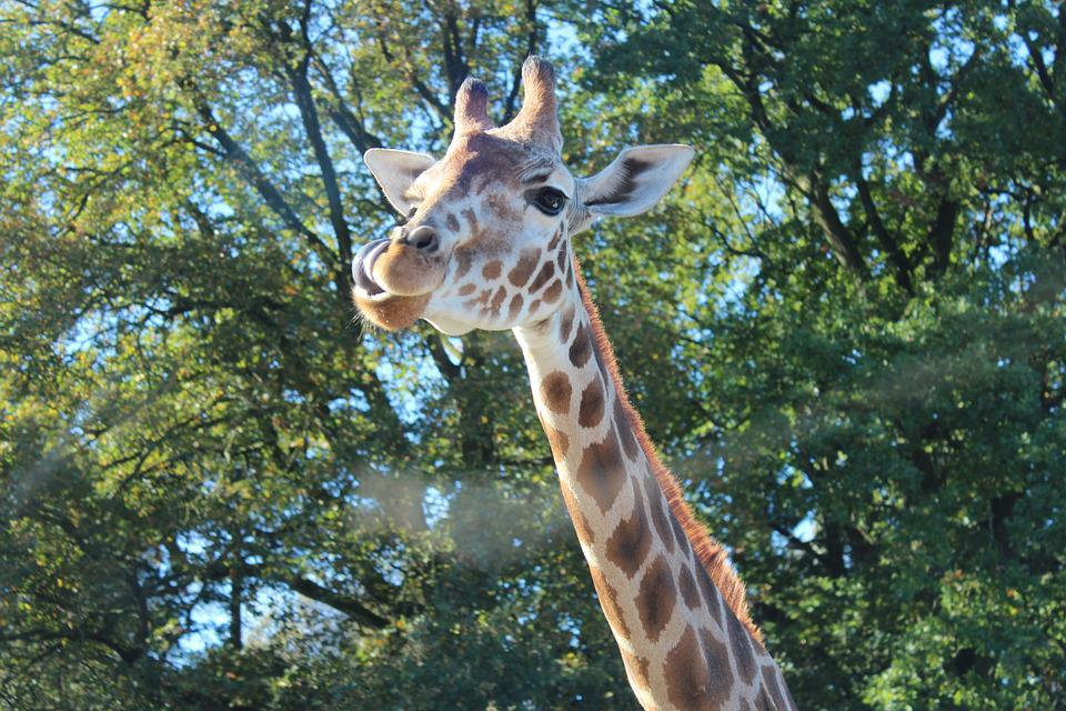 Giraffe, Rothschild Giraffe, Camelopardalis