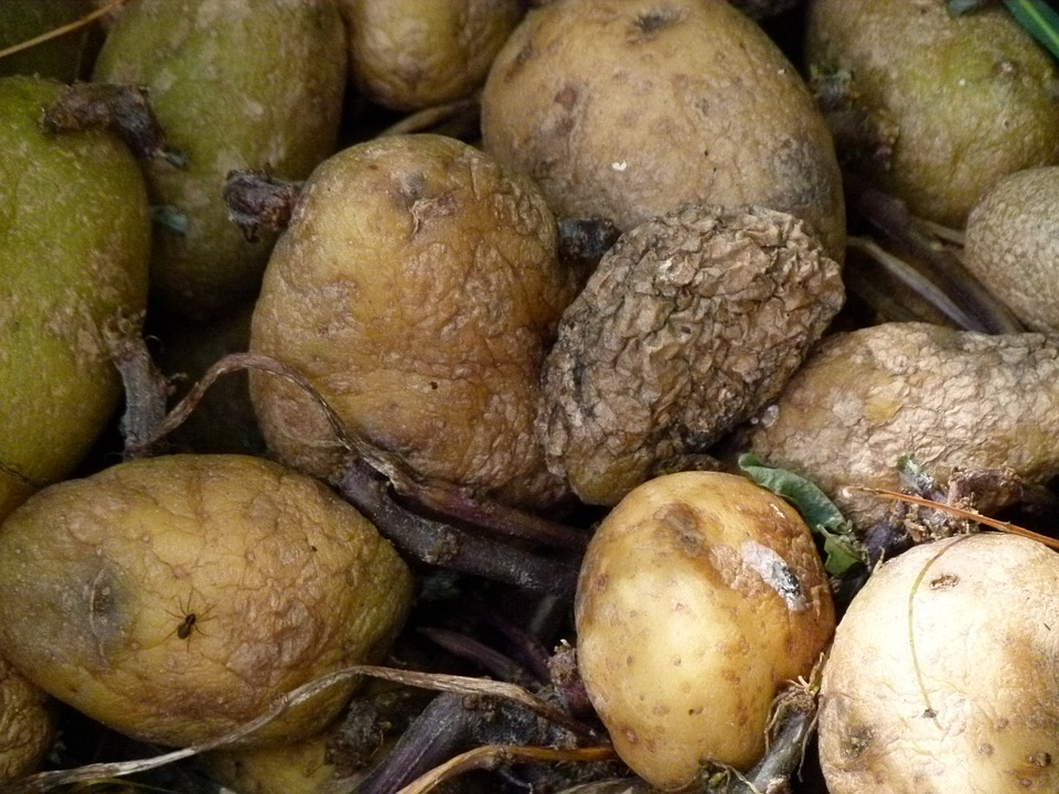 Rotting Potatoes, Food, Decay, Old, Rot, Rotting, Mold