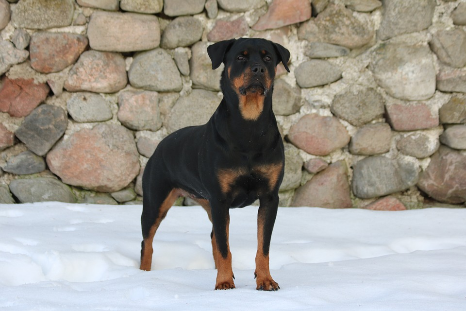 Dog, Rottweiler, Snow, Background, The Stones, Winter