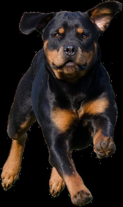 Rottweiler, Dog, Pet, Canine, Animal, Fur, Snout