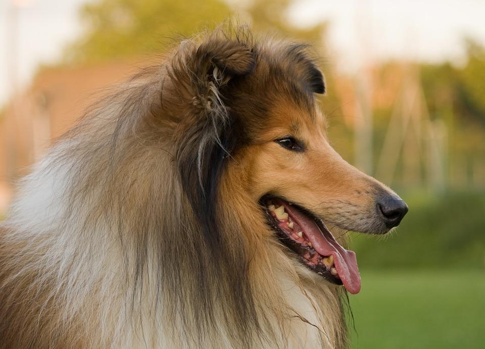 Dog, Rough Collie, Collie, Lassie, Animal, Pet, Canine