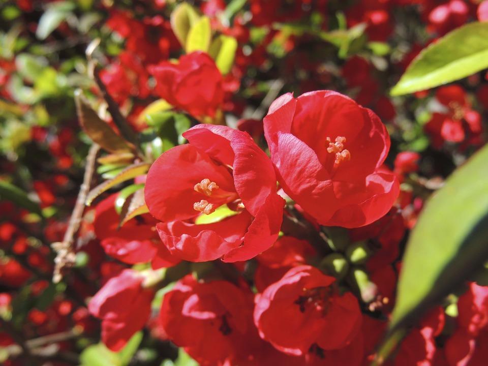 Blossom, Bloom, Round, Red, Garden, Plant, Nature
