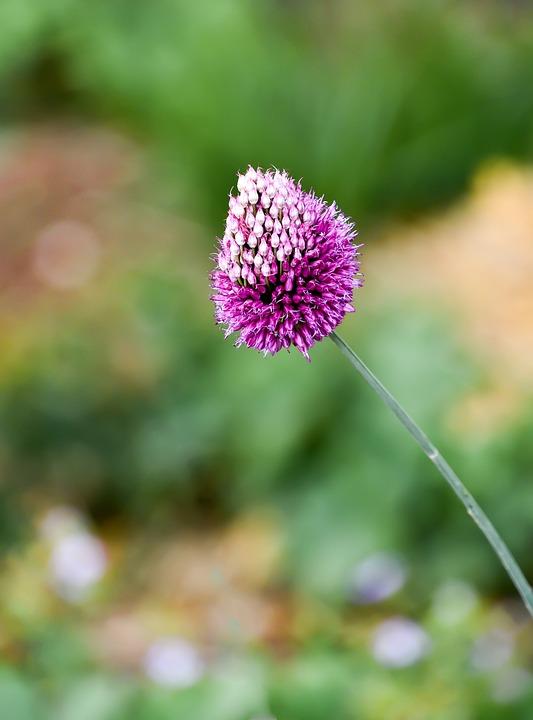 Flower, Allium Sphaerocephalon, Round-headed Garlic