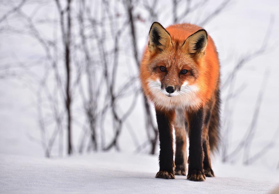 Fox, Animal, Nature, Winter, Fauna, Roux