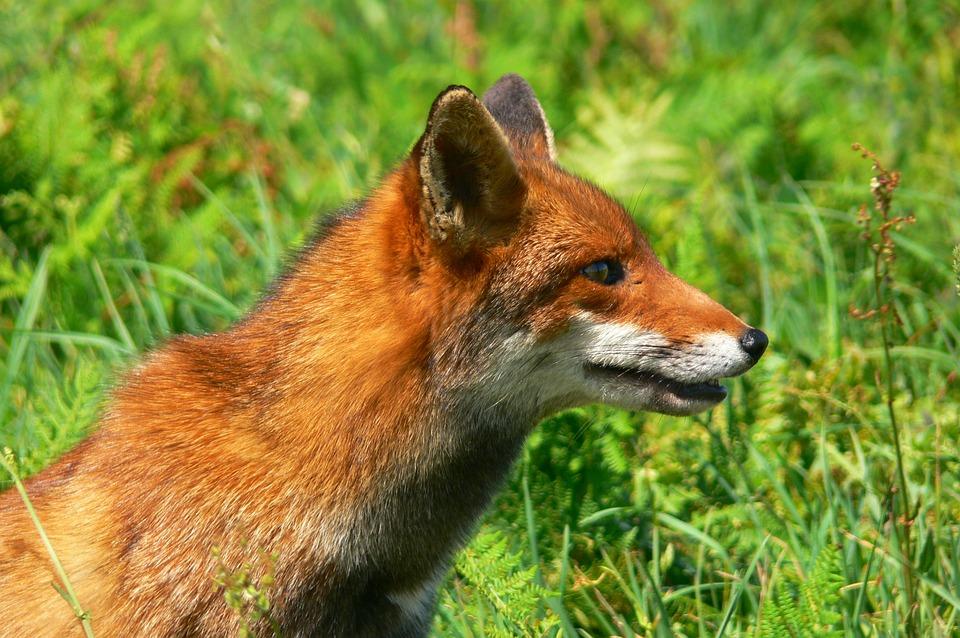Fox, Roux, Fauna