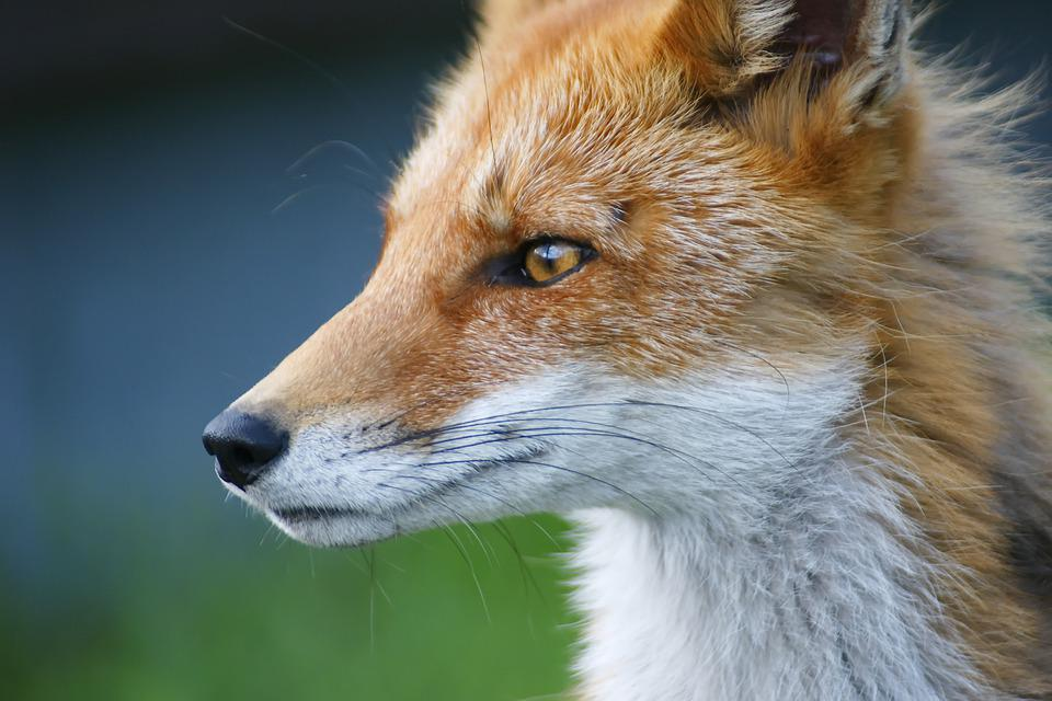 Fox, Nature, Animals, Roux, Fauna, Wild Animal, Red