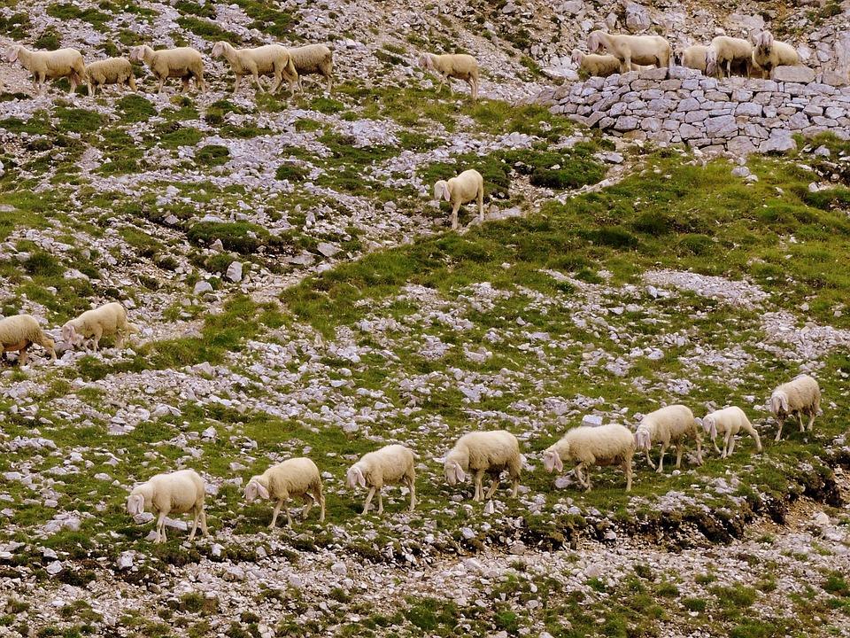 Flock, Row, Grass, Animal, Sheep