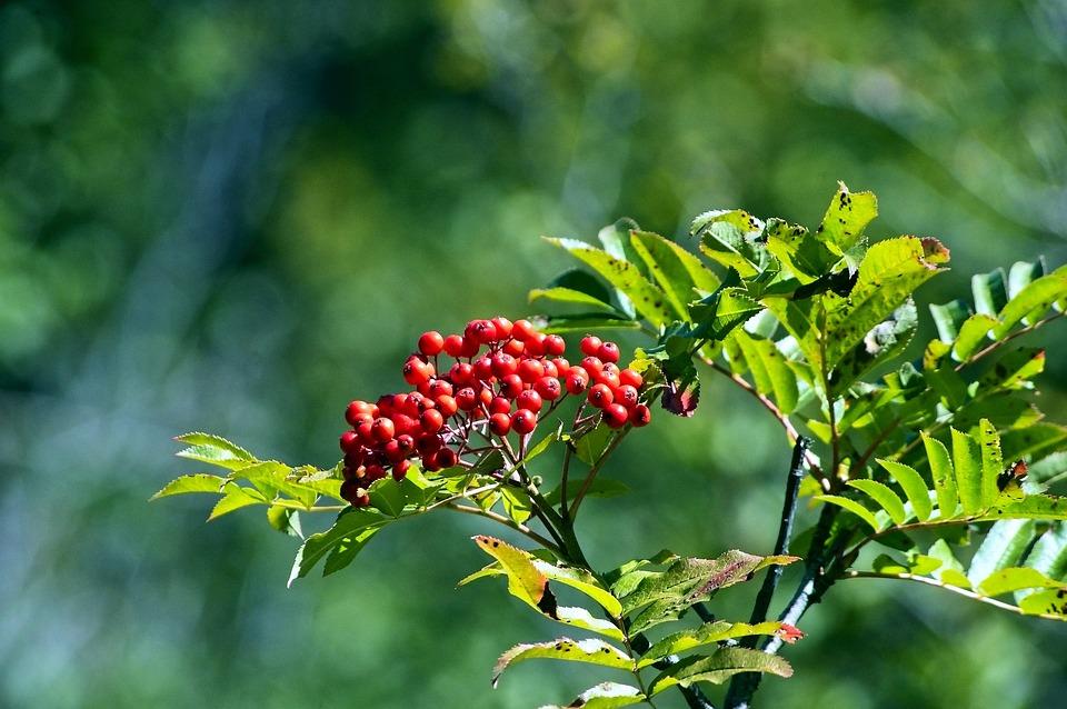 Rowan Berries In Tetons, Red, Fruit, Ripe, Food, Berry