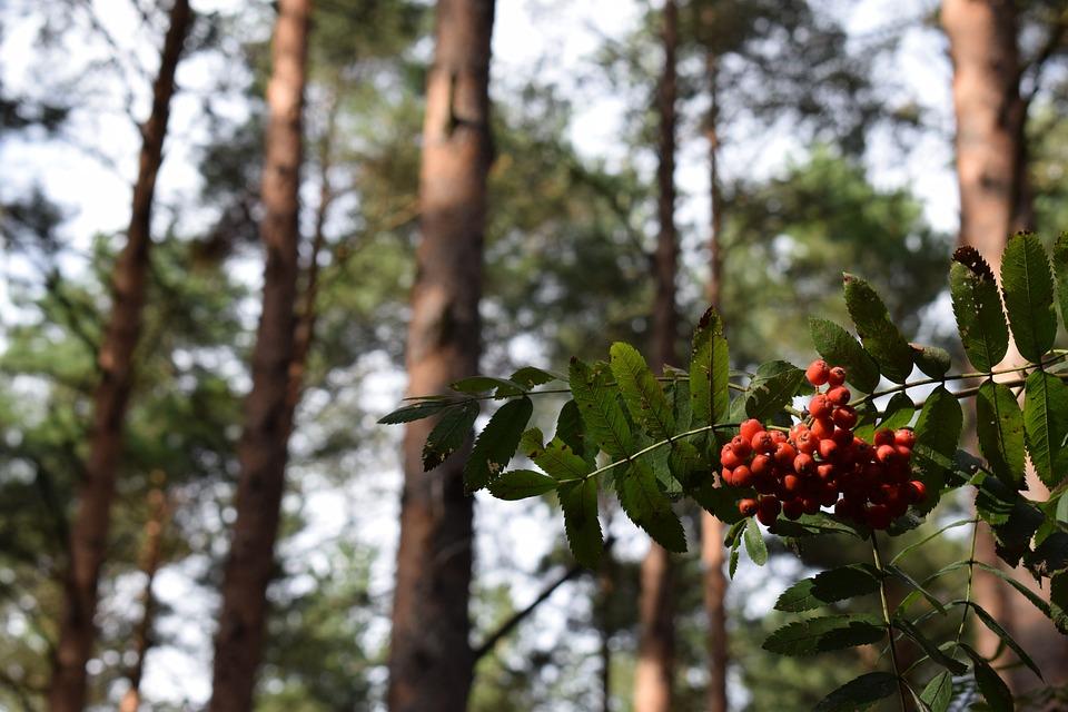 Rowan, Berries, Berry, Forest, Nature, Summer