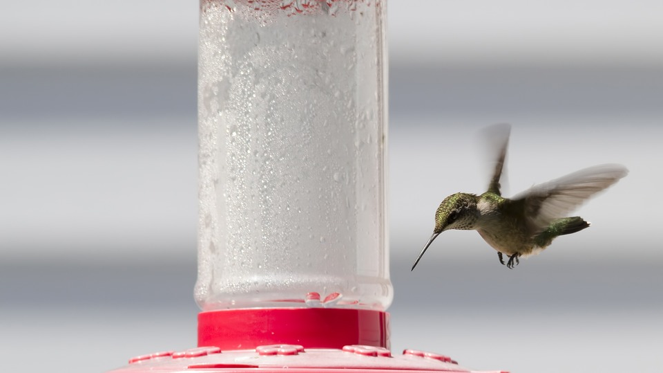 Ruby-throated Hummingbird, Hummingbird, Bird