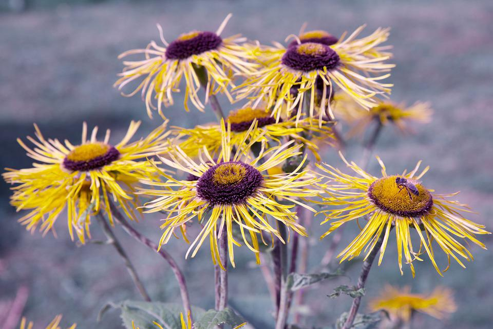Rudbeckia, Flower, Bee, Nature