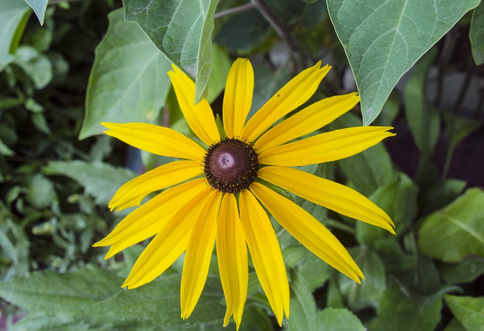 Rudbeckia, Flower, Yellow Flowers, Garden Flowers