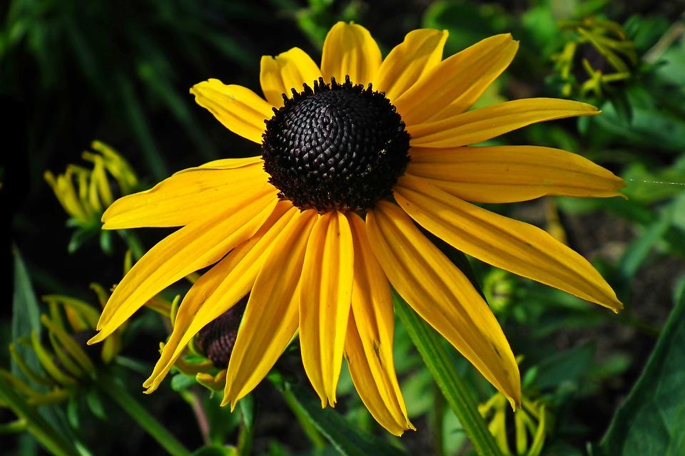 Rudbeckia Golden, Flowers, Beauty, Nature, Garden