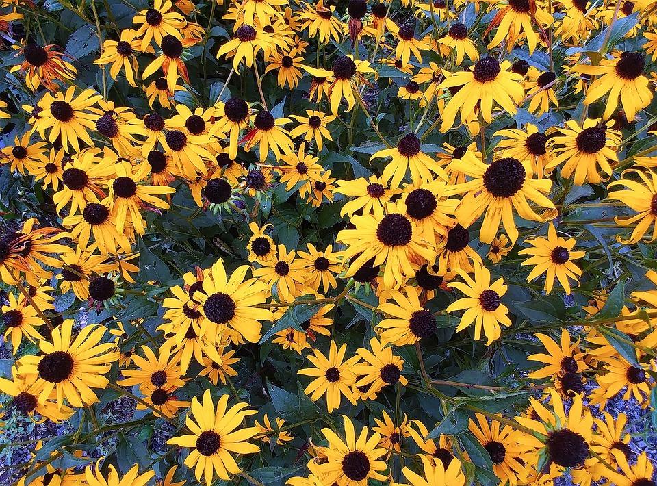 Black-eyed-susan, Rudbeckia Hirta, Flower, Plants
