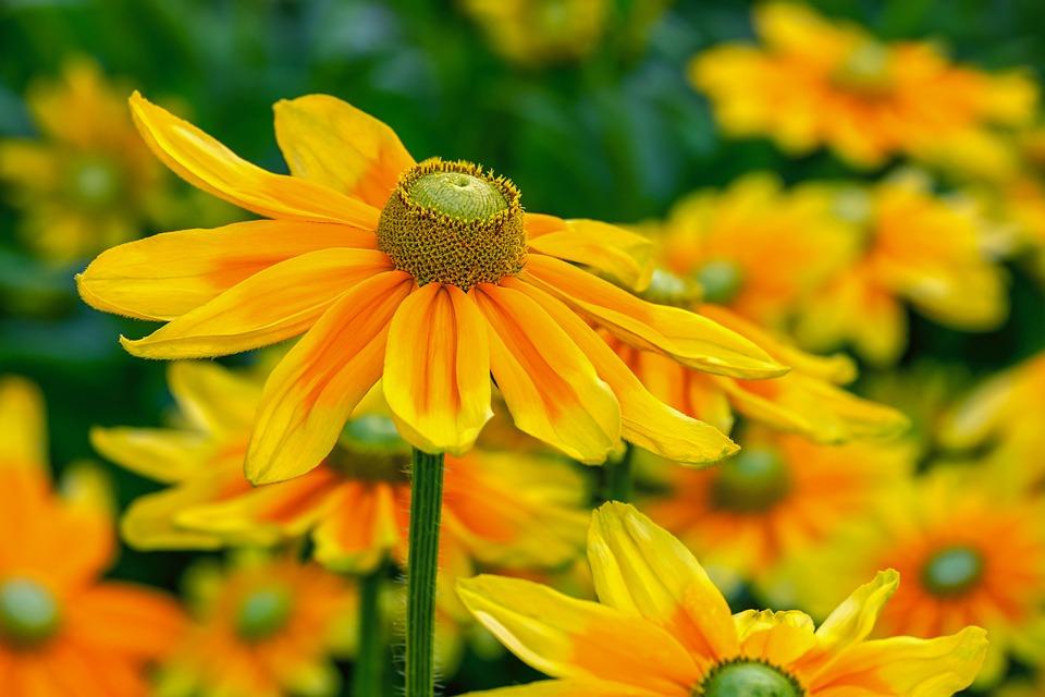 High Hat, Rudbeckia Nidita, Flower, Blossom, Bloom