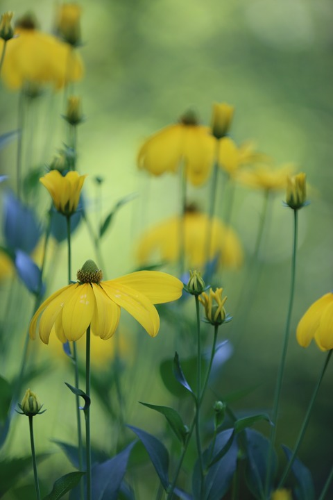 High Hat, Rudbeckia Nitida, Flower, Garden, Nature
